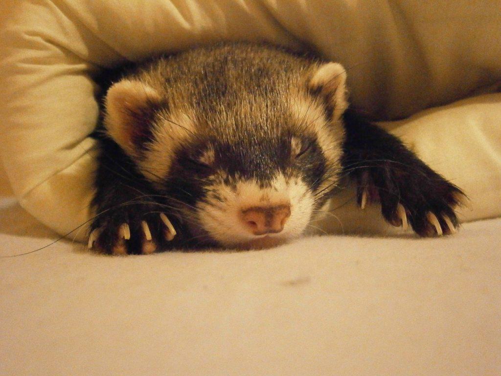 ぐっすり眠るフェレット