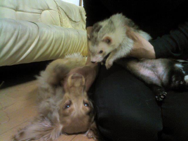 フェレットと一緒に遊ぶ犬
