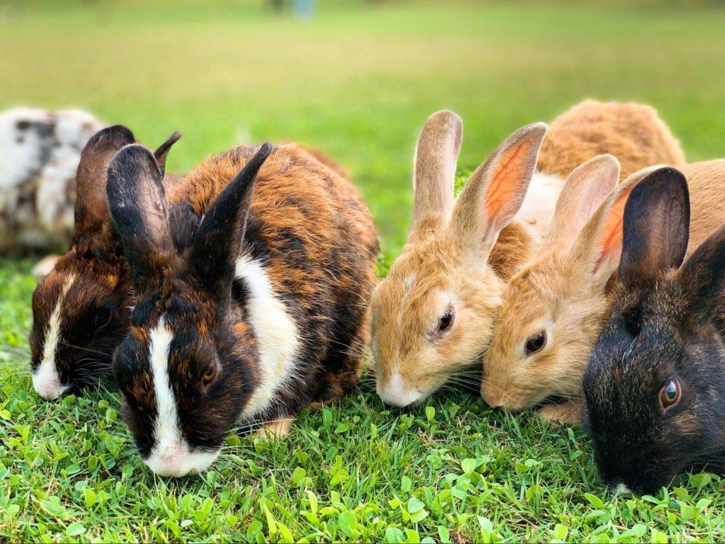 草を食むウサギ/ ウサギの栄養学(1)ウサギの消化管のしくみ~独自の結腸分離システムを使った生き残り戦略~