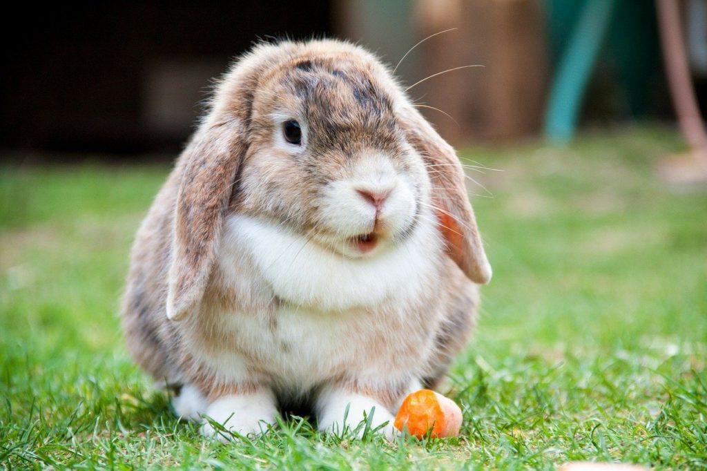 にんじんとウサギーウサギの栄養学(3)不足は禁物!ウサギに繊維が欠かせない理由
