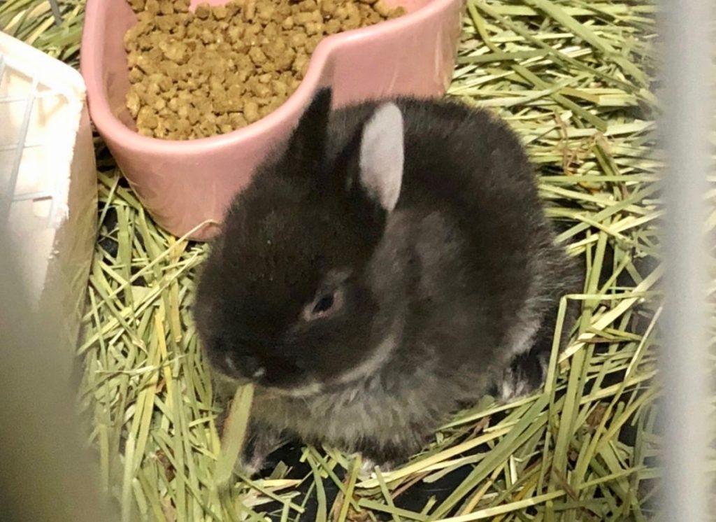 牧草を食べるウサギ