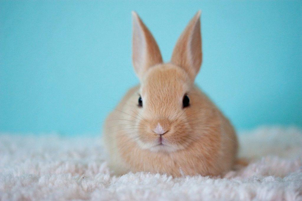 うさぎ香箱座り_ウサギは目を開けたまま寝るってほんと?