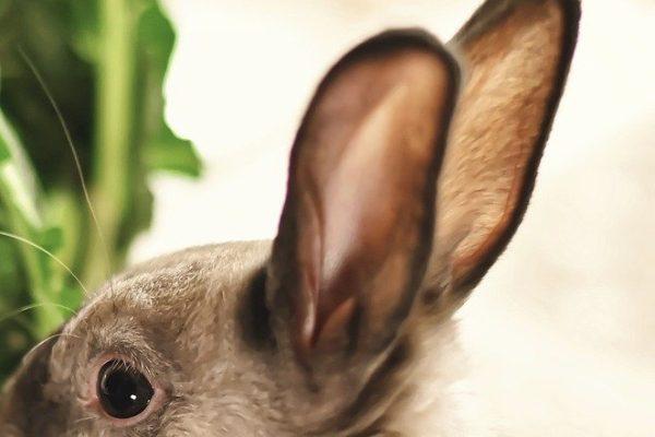 ウサギの耳の病気