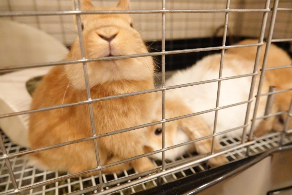 動物行動学者監修ウサギの「かじる」謎にせまる ケージをかじるウサギ