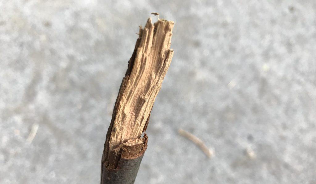 動物行動学者監修ウサギの「かじる」謎にせまる 木の断面