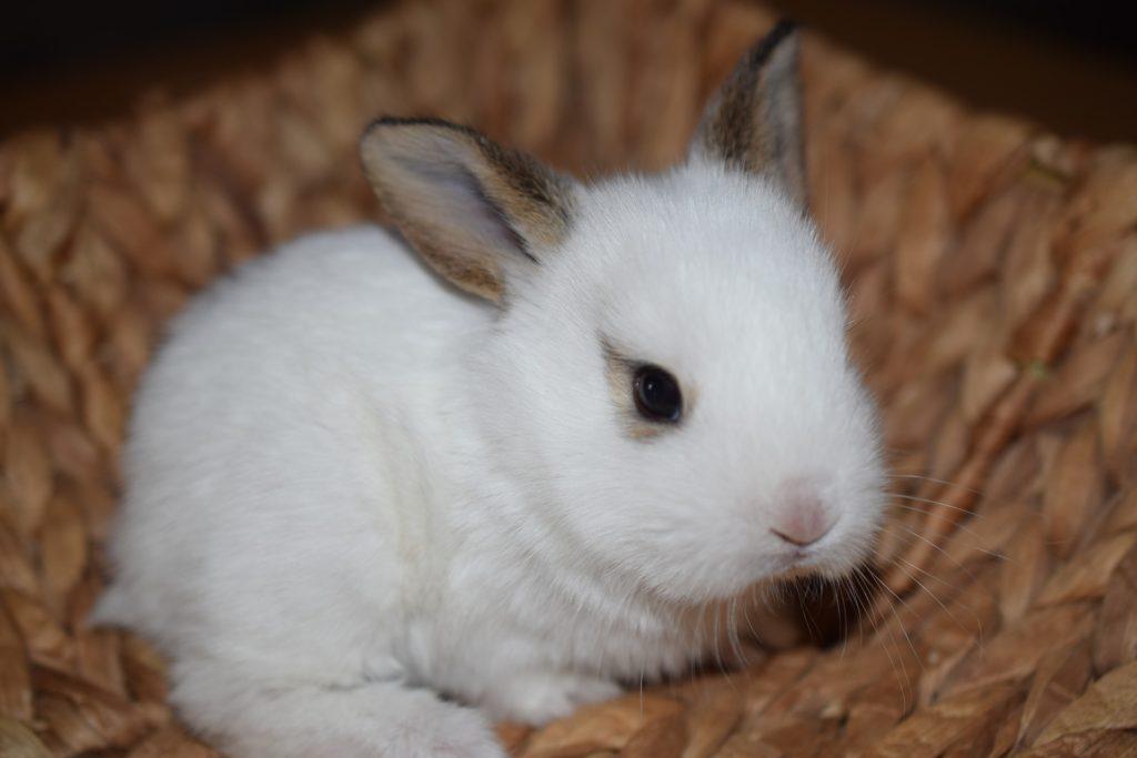 うさぎの飼い方まとめ_白いうさぎ|ウサギの寿命