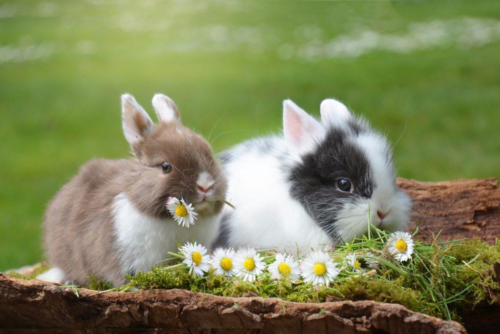 うさぎの飼い方まとめ_お花に囲まれた二匹のうさぎ