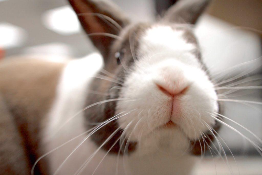 匂いを嗅ぐウサギ/ウサギのマーキングの意味は?