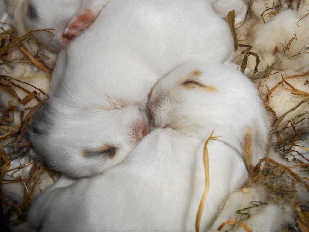 """くっついて眠る子うさぎ""""litter huddle""""ー物行動学者監修 育児放棄じゃなかった!ウサギの子育ての秘密〜妊娠・出産から育児まで〜"""