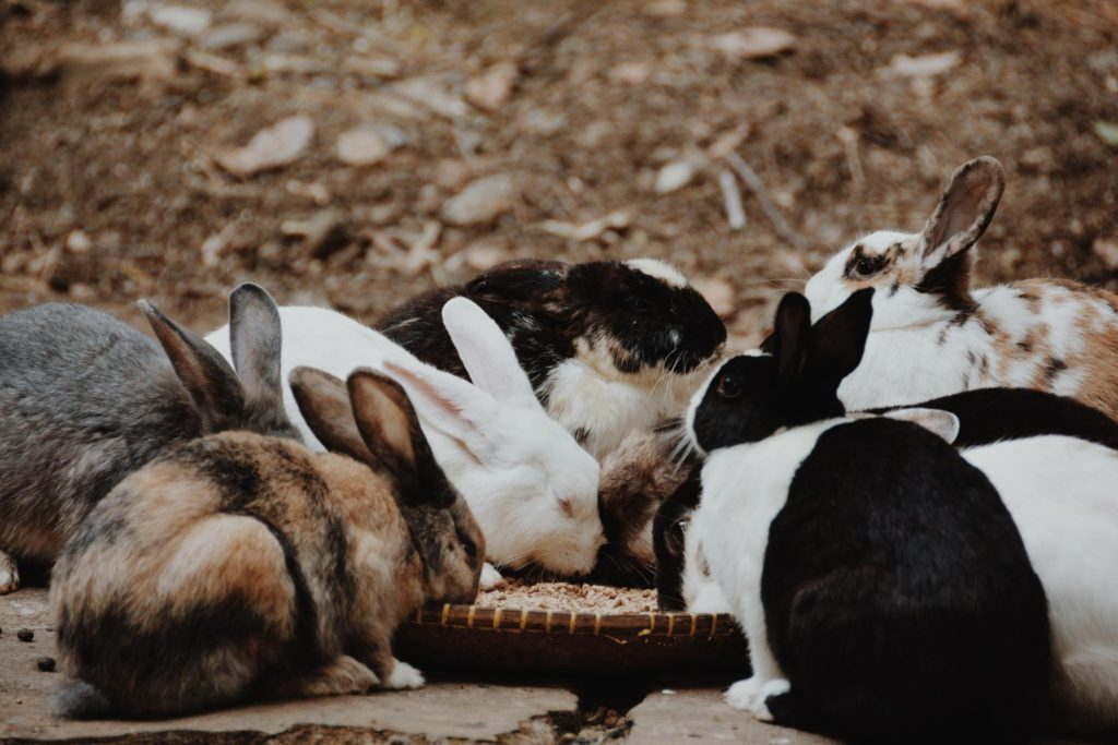 エサを食べるウサギの群れー物行動学者監修 育児放棄じゃなかった!ウサギの子育ての秘密〜妊娠・出産から育児まで〜