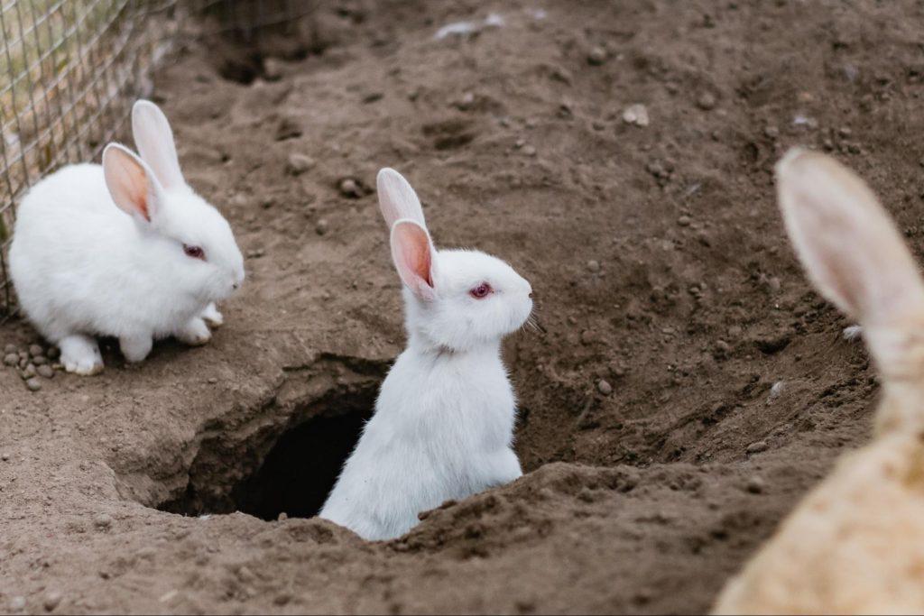 穴から顔を出すウサギ/ウサギのマーキングの意味は?