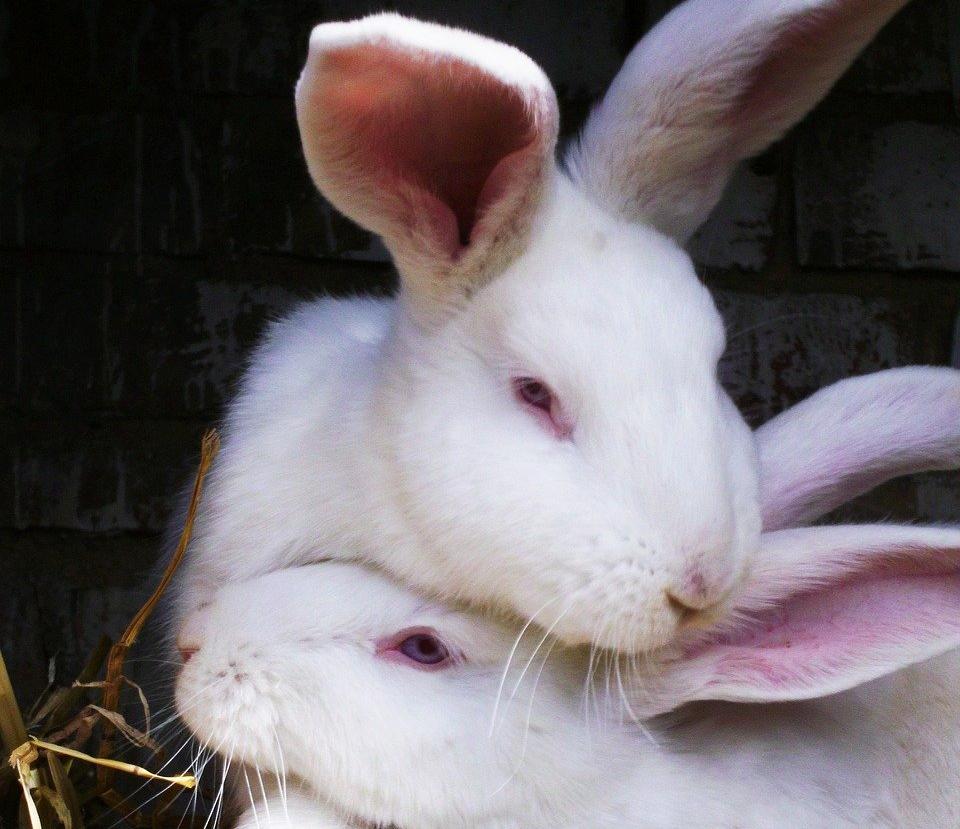 チンニングするウサギ/ウサギのマーキングの意味は?