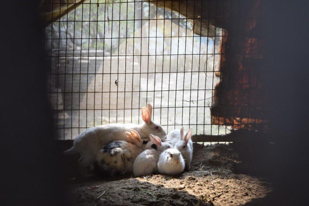 小屋の中のウサギ親子ー物行動学者監修 育児放棄じゃなかった!ウサギの子育ての秘密〜妊娠・出産から育児まで〜
