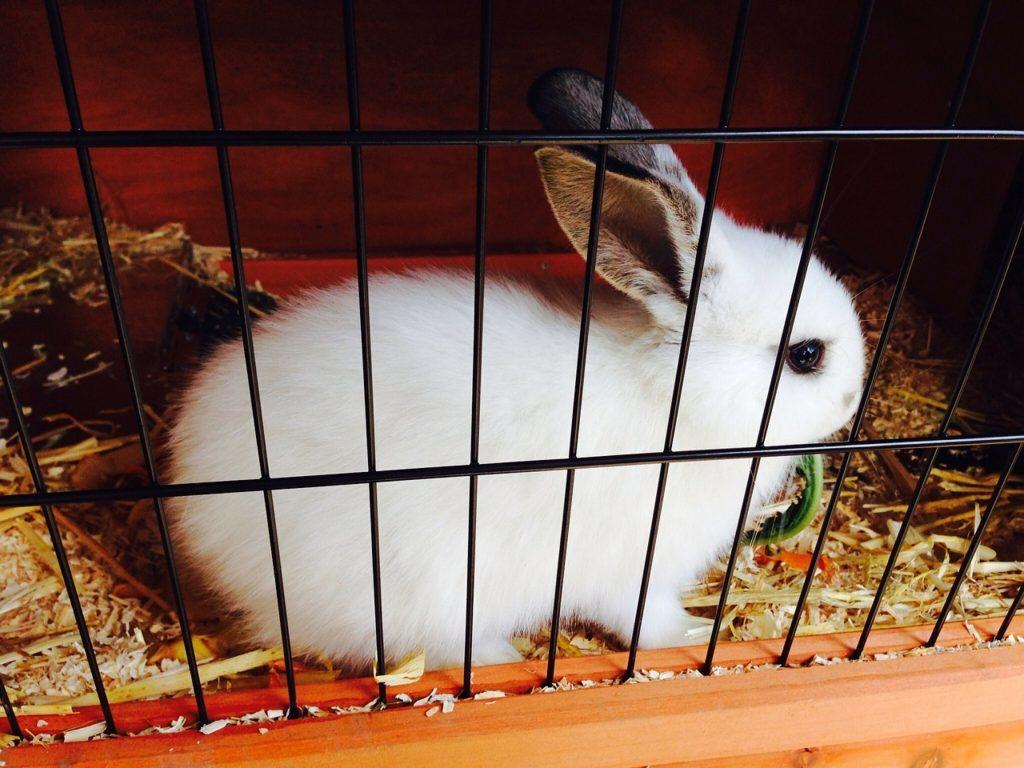 ケージの中にいるうさぎー動物行動学者監修「逃げて隠れる」捕食者に打ち勝つウサギの知恵とは