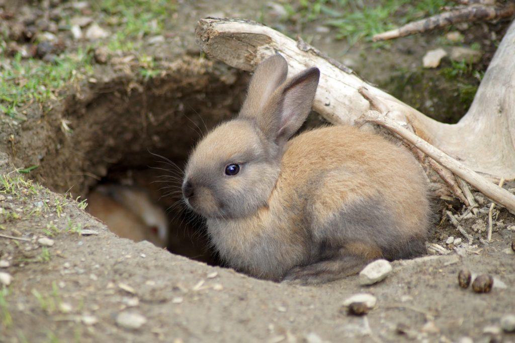 巣穴のうさぎー動物行動学者監修「逃げて隠れる」捕食者に打ち勝つウサギの知恵とは