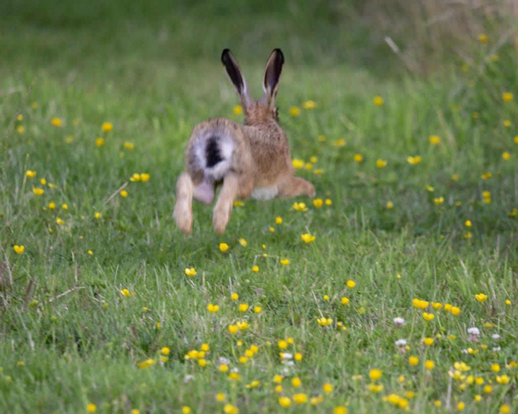 逃げるうさぎー動物行動学者監修「逃げて隠れる」捕食者に打ち勝つウサギの知恵とは