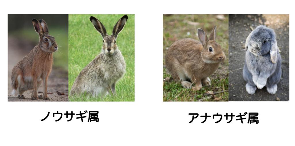 ノウサギとアナウサギー動物行動学者監修「逃げて隠れる」捕食者に打ち勝つウサギの知恵とは