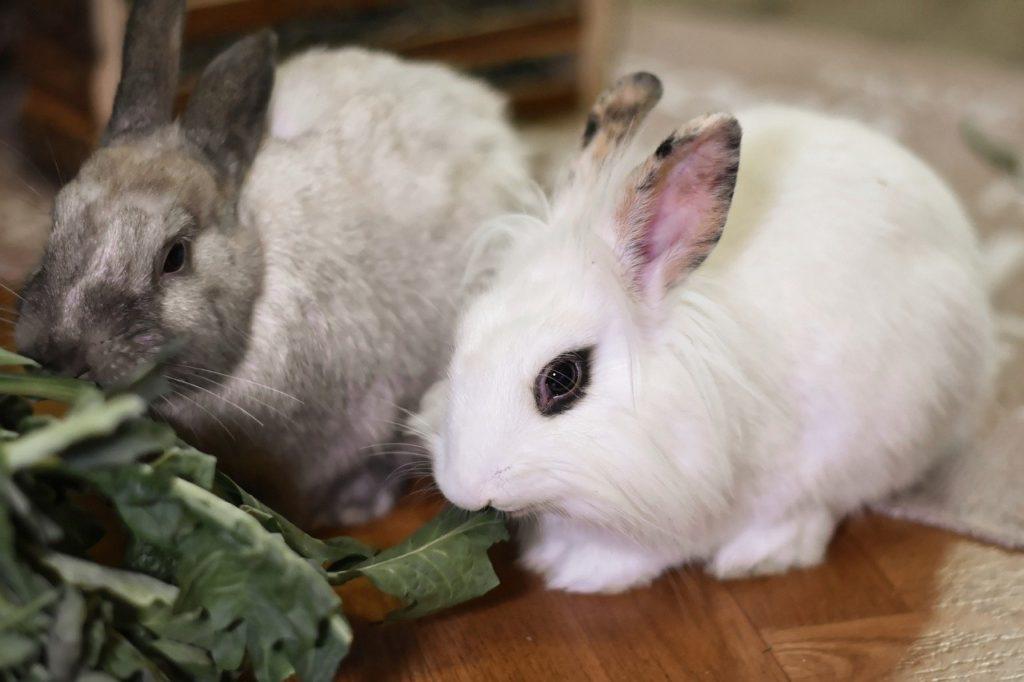 葉を食べるウサギ/ウサギの栄養学(2)フンを食べないと生きられない!食糞の重要性とは?
