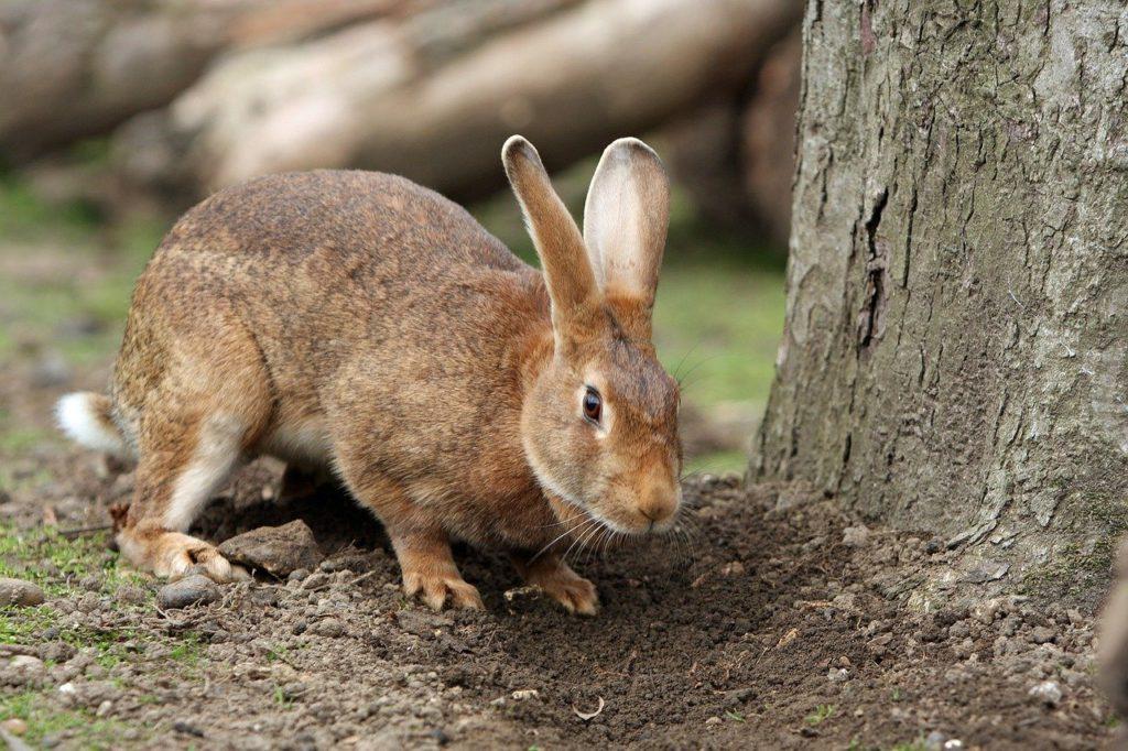 野生のアナウサギー動物行動学者監修「逃げて隠れる」捕食者に打ち勝つウサギの知恵とは