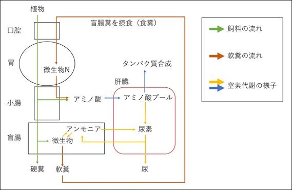 ウサギの窒素代謝 模式図/ウサギの栄養学(2)フンを食べないと生きられない!食糞の重要性とは?