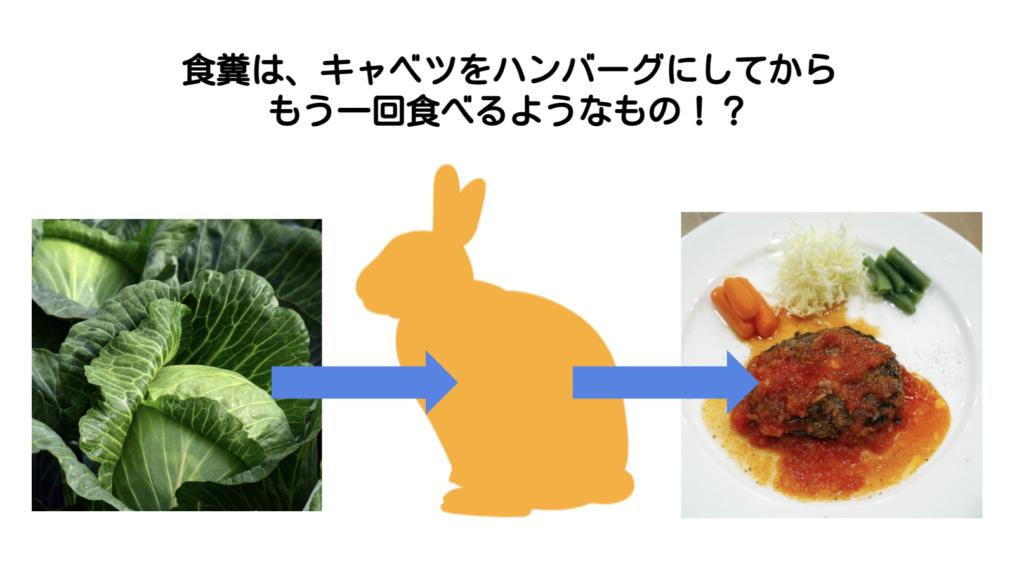 キャベツからハンバーグへ/ウサギの栄養学(2)フンを食べないと生きられない!食糞の重要性とは?