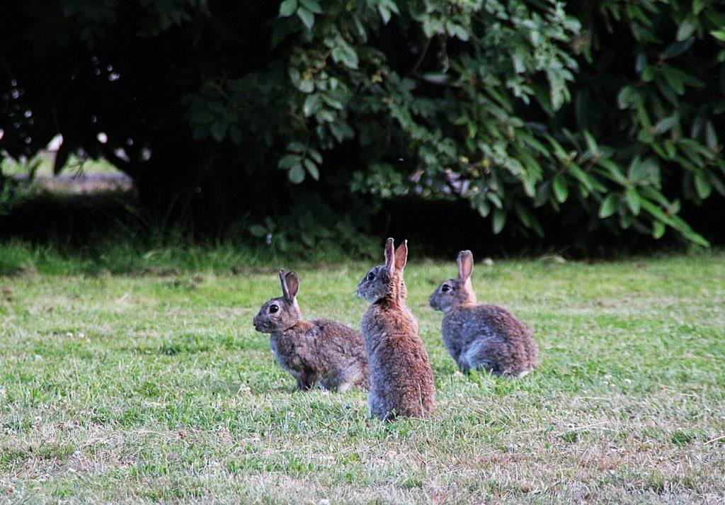 警戒するうさぎー動物行動学者監修「逃げて隠れる」捕食者に打ち勝つウサギの知恵とは