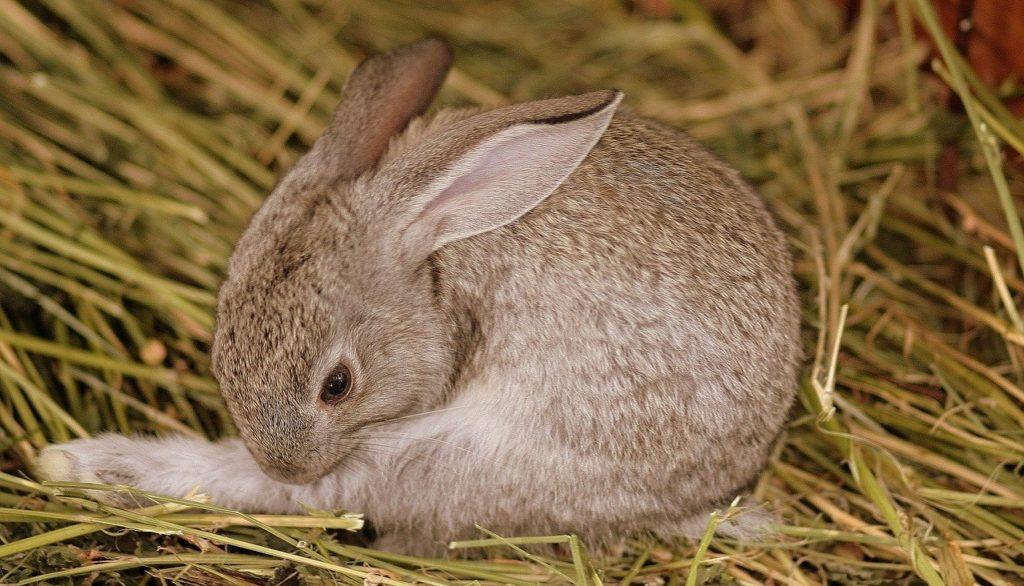 毛繕いするウサギ/ウサギの栄養学(2)フンを食べないと生きられない!食糞の重要性とは?