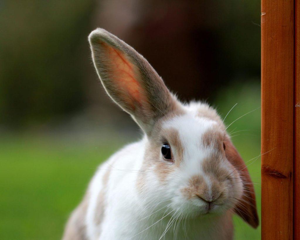 ウサギの耳ー動物行動学者監修 「視覚・聴覚・嗅覚」ウサギの警戒センサーの秘密を探る