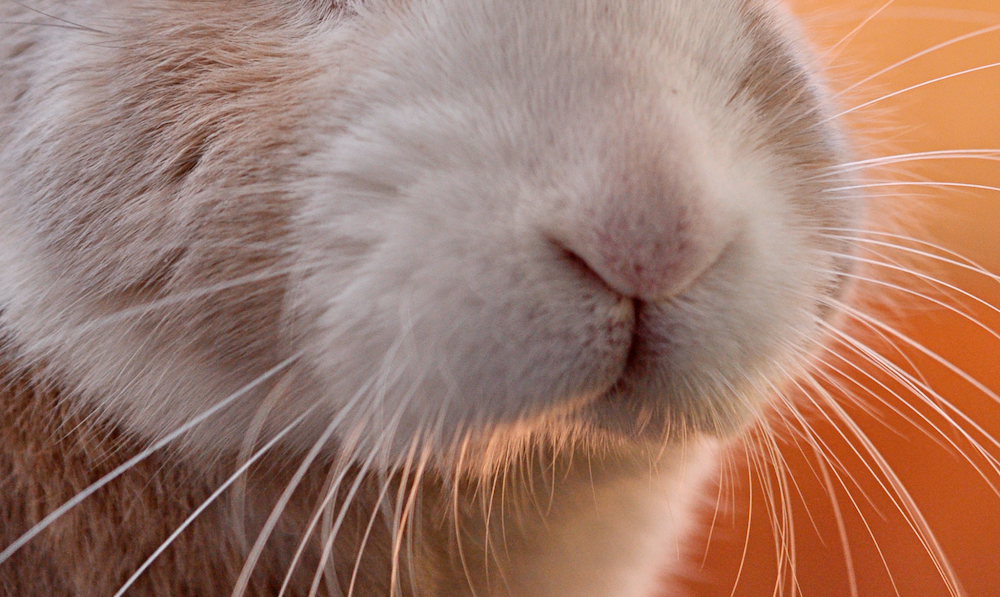 ウサギの鼻ー動物行動学者監修 「視覚・聴覚・嗅覚」ウサギの警戒センサーの秘密を探る