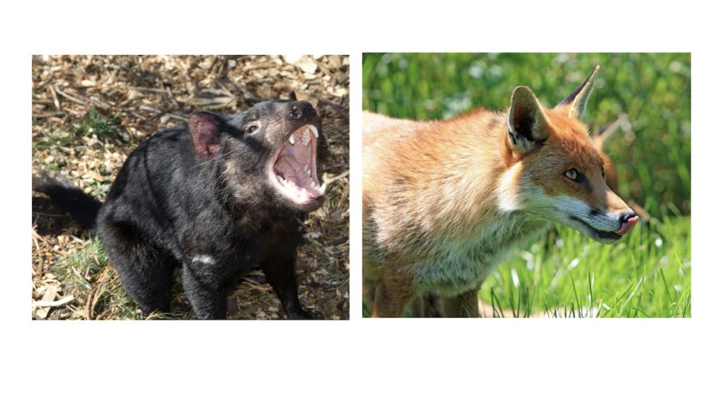 タスマニアデビルときつねー動物行動学者監修 「視覚・聴覚・嗅覚」ウサギの警戒センサーの秘密を探る