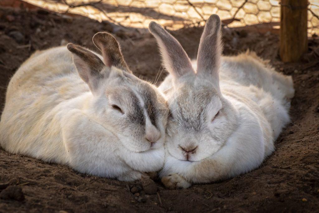 寄り添うウサギー動物行動学者監修 ウサギの群れでの暮らし・社会のしくみを探る
