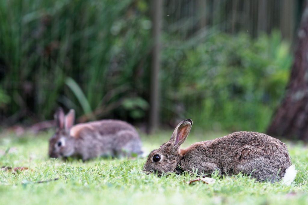 伏せるウサギー動物行動学者監修 ウサギの群れでの暮らし・社会のしくみを探る