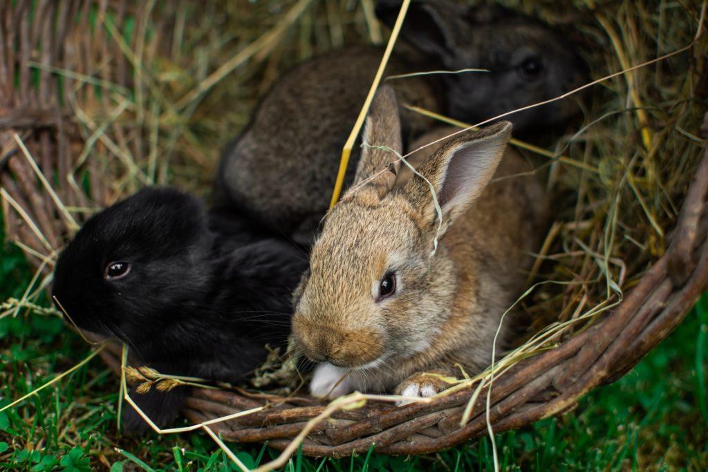 かごに入るウサギー動物行動学者監修 ウサギの群れでの暮らし・社会のしくみを探る