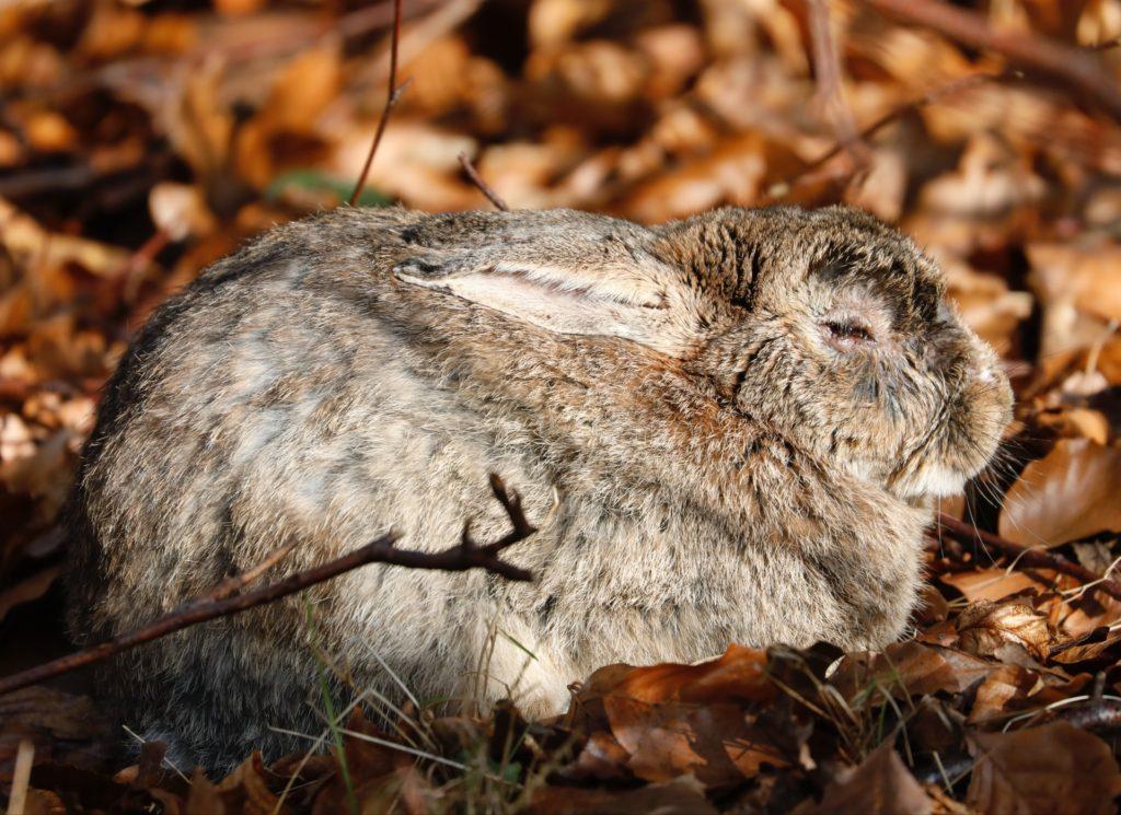 眠るウサギ/動物行動学者監修 細切れがウサギ流?睡眠のひみつ