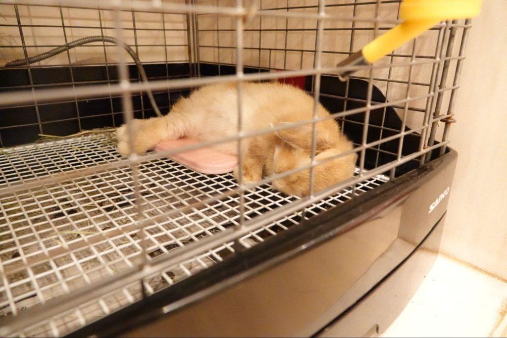 リラックスして眠るウサギ/動物行動学者監修 細切れがウサギ流?睡眠のひみつ