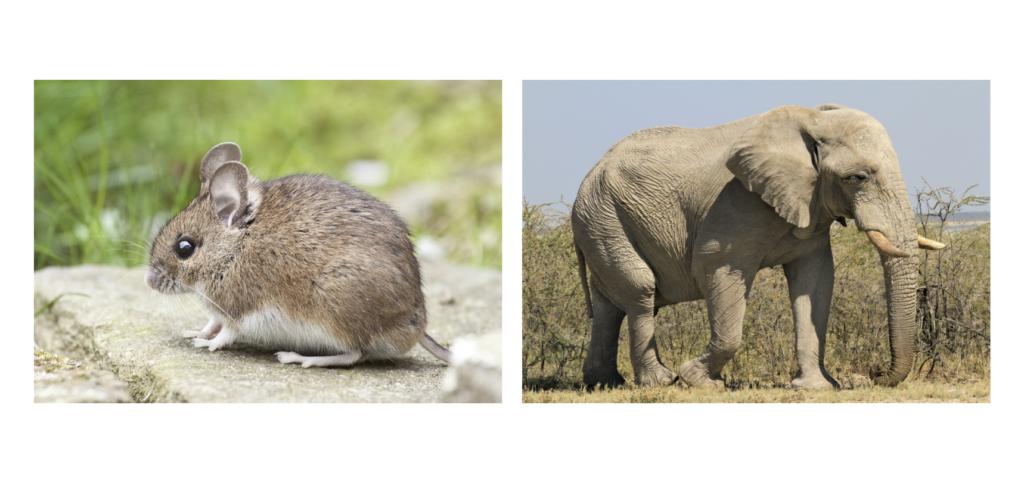 ネズミとゾウ/動物行動学者監修 細切れがウサギ流?睡眠のひみつ