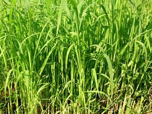 生牧草緑葉