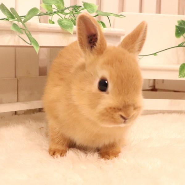 ネザーランドドワーフ オレンジ(MY)